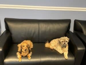 Therapy dogs Cookie and Chili sitting on couch