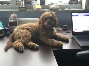 Therapy dog Harper on desk in Scranton office